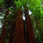 """""""redwoods"""" by BearDancerStudios"""