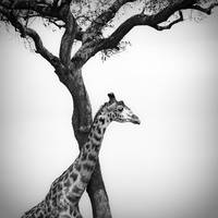 giraffe and a tree, masai mara, kenya