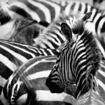 """pattern of zebras, masai mara, kenya"" by kalishko"