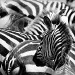 """pattern of zebras, masai mara, kenya"" by kalishko"
