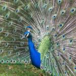 """Waimea Peacock"" by AmberAnn"