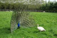 peacock-courtship-display