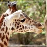 """Giraffe"" by vwiwi"