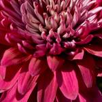 """Chrysanthemum"" by TonyDoddPhotography"