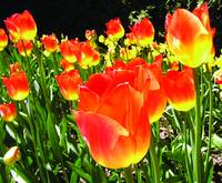 Luminous Tulips I (Horizontal)