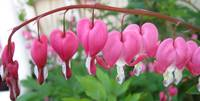 Bleeding Hearts Lined Up