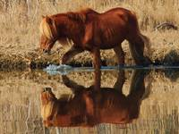 assateague pony checking his reflection