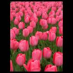 """Pink Tulips Breast Cancer Awareness"" by crazysuncompany"