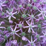 """""""Allium Close-Up"""" by Groecar"""
