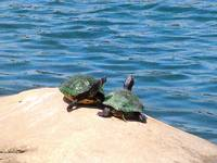 Turtles at the Lake