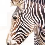 """""Zebra Bust"" Wildlife Watercolor, Paul Jackson"" by PaulJacksonArt"