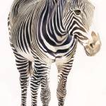"""""Zebra"" Wilflife Watercolor, Paul Jackson"" by PaulJacksonArt"