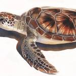 """""Sea Turtle"" Wildlife Watercolor, Paul Jackson"" by PaulJacksonArt"
