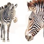 """""Zebra Pair"" Wildlife Watercolor, Paul Jackson"" by PaulJacksonArt"