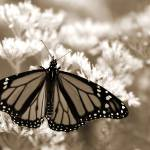 """Monarch In Sepia"" by Erica_Marshall"