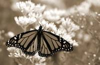 Monarch In Sepia