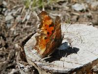 butterfly on stump