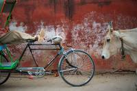 India-Cow-and-Bike