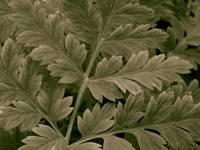 Queen Anne's Lace Leaves