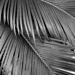 """Intertwining Palm Fronds"" by floraphotographs"
