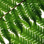 """Fern Leaves"" by floraphotographs"