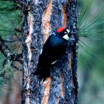 """Acorn Woodpecker 2"" by rayjacque"