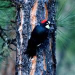 """Acorn Woodpecker 2"" by rayjacque"
