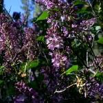 """Lilac Bush"" by rayjacque"