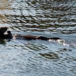 """Sea Otter Lunching"" by DSainton"