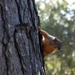 """Stalker Squirrel"" by DSainton"