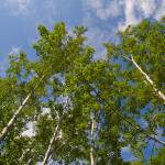 """Green Birch Reaching Into Blue Sky"" by johnmclaird"