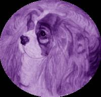 Purple Cavalier King Charles Spaniel