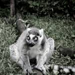 """lemur"" by ambermostoles"