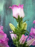 Pink Bellflower (3)