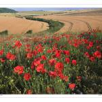 """Poppy field on the Southdown of West Sussex"" by SussexImages"