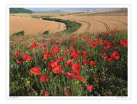 Poppy field on the Southdown of West Sussex