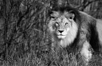 King of the Beasts (African Lion)