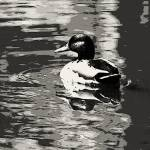 """""""Duck and cover"""" by Artkeptsimple"""