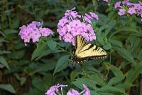 Butterfies Love Phlox Photo