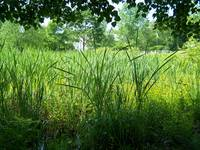 Cattails in the Swamp