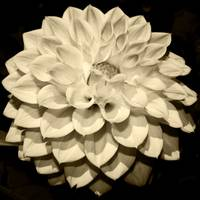 Perfect Sepia Flower 1