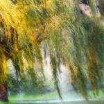 """Misty Weeping Willow Tree"" by PhotographsByCarolFAustin"