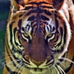 """""""Tigerc"""" by BBuzz"""