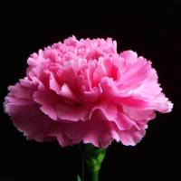 """pink carnation"" by Sheila Long"