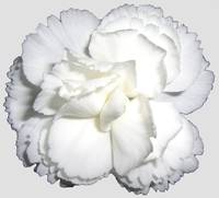 White Carnation on gray background