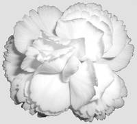 White Carnation black and white
