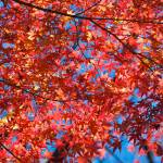 """Maple Leaves"" by ImageArt-Photography"