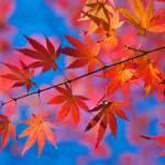 """Momiji"" by ImageArt-Photography"