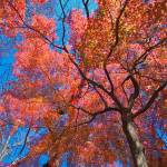 """Maple Tree"" by ImageArt-Photography"