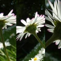 daisy chain by Louise Dionne